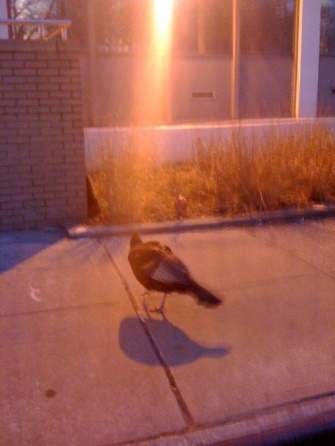 The Wild Turkeys Of Staten Island University Hospital